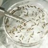 Millones de mosquitos genéticamente modificados podrían ser liberados en EE.UU. Millones de mosquitos genéticamente modificados podrían ser liberados en EE.UU.